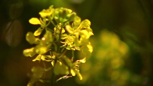 close up rack focus yellow flower in background to yellow flower in foreground / Napa Valley, California