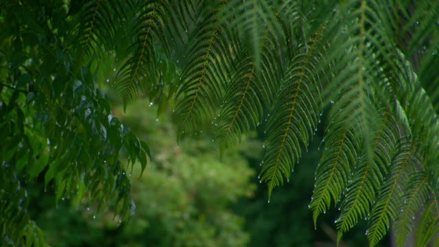close up rain drops hang on lush green fern tree fronds / blurred image focus pull to close up fern fronds with rain drops