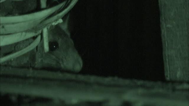 close up - rat sniffing its environment at night; night vision / bangladesh - skadedjur bildbanksvideor och videomaterial från bakom kulisserna