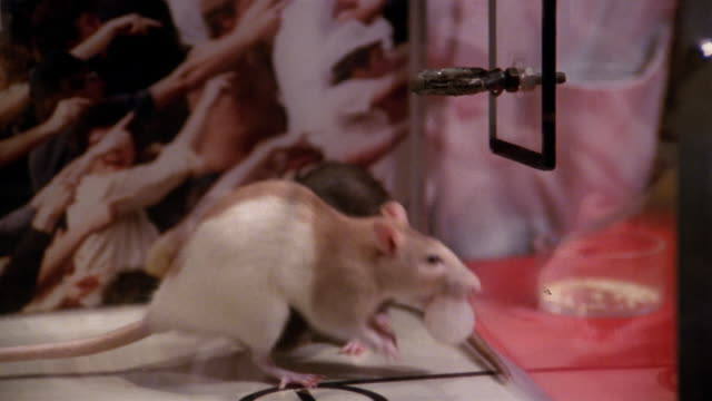 stockvideo's en b-roll-footage met 1991 close up rats playing basketball in box - rat