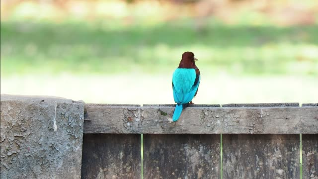 close up rear view of white throated kingfisher perching on pier and then flies away - birdsong stock videos & royalty-free footage