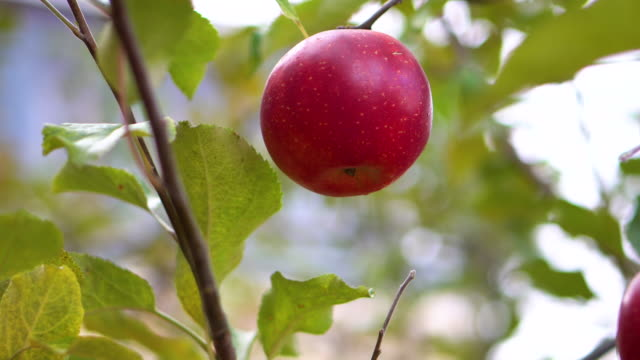 close up red apple on the tree - hanging stock videos & royalty-free footage