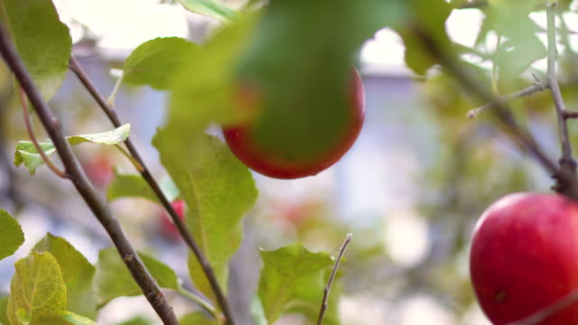 close up red apple on the tree - apple orchard stock videos & royalty-free footage