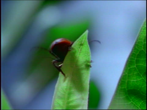 close up red beetle (tetraope) crawling around on thin green leaf - animal antenna stock videos & royalty-free footage