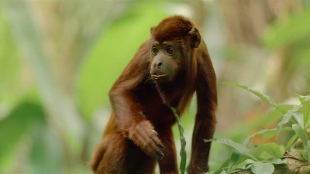 Close up red howler monkey looking at CAM / turning head and crawling away / Venezuela