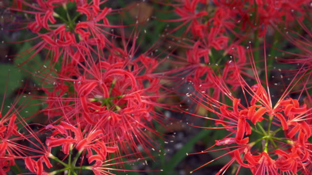 close up red spider lily garden in dolly motion (overlook) - spider lily stock videos and b-roll footage