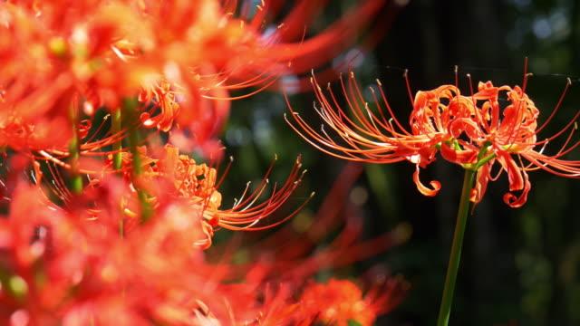 vídeos y material grabado en eventos de stock de close up red spider lily garden - hymenocallis caribaea