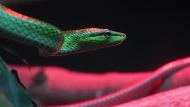 Red Tailed grün Rattenschlange (Gonyosoma Oxycephalum) hautnah.