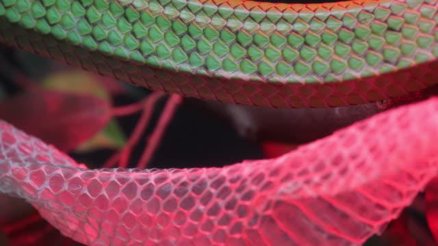 vidéos et rushes de gros serpent rat de vert à queue rouge (gonyosoma oxycephalum). - serpent