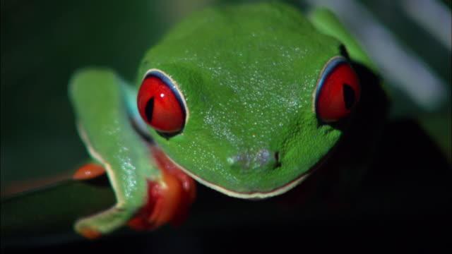vídeos y material grabado en eventos de stock de close up red-eyed tree frog looking at camera at the ranario frog pond / monteverde, costa rica - rana arborícola de los ojos rojos