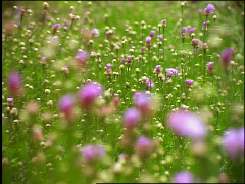 vidéos et rushes de close up r/fpurple wildflowers blowing in wind / aransas national wildlife refuge, texas - cinématographie