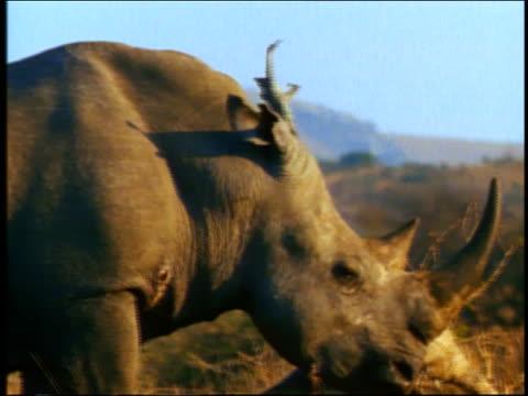 vídeos y material grabado en eventos de stock de close up pan rhinoceros walking slowly / africa - animales de safari