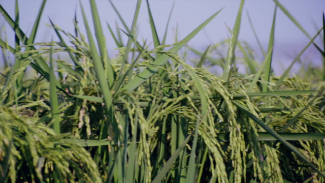 close up rice tassels in a green field of rice - tassel stock videos & royalty-free footage