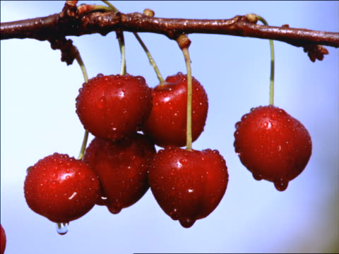close up ripe cherries on branch / Southern France