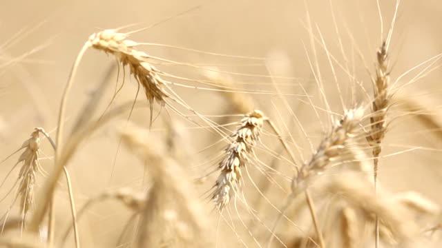 stockvideo's en b-roll-footage met close up - ripe ears of wheat - volkorentarwe