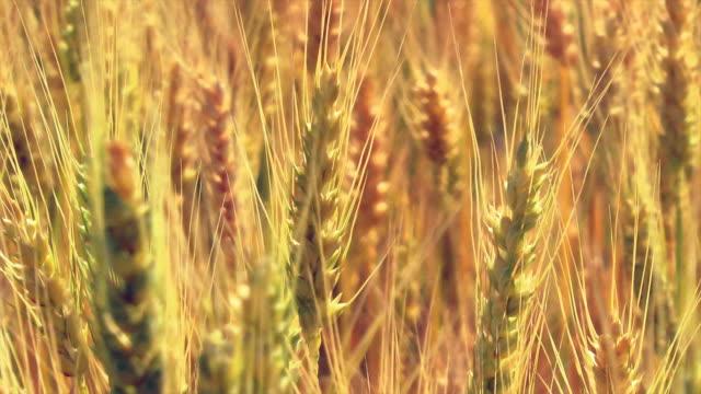 close up ripe wheat - 小麦点の映像素材/bロール