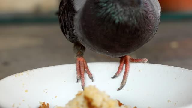 vidéos et rushes de gros plan :  rock pigeon est greedily - bouche des animaux