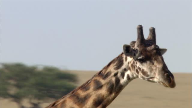 vídeos de stock, filmes e b-roll de close up running giraffe's legs/pan giraffe's head /zoom out wide shot meets 2 other giraffes against background of herds/kenya - girafa