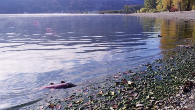 close up, salmon dead on shore - töten stock-videos und b-roll-filmmaterial