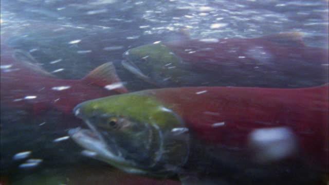vídeos y material grabado en eventos de stock de close up salmon swimming underwater against current - salmón animal