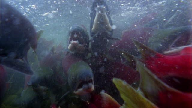 vídeos y material grabado en eventos de stock de close up salmon swimming underwater toward cam - salmón animal