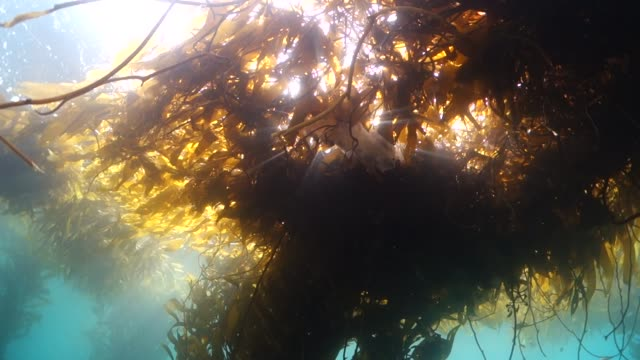 vídeos de stock e filmes b-roll de close up: salp jellyfish floating under sunny seaweed - castanho
