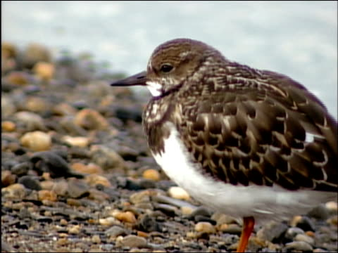 Close up sandpiper on rocky beach / Alaska