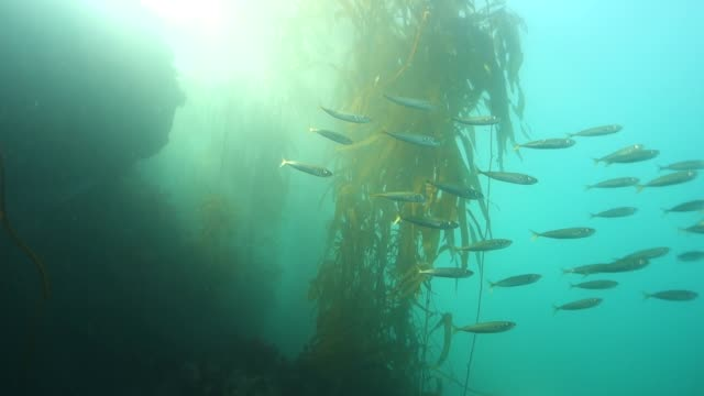 Close Up: School of Sardines Swim Through Sunny Kelp Forest