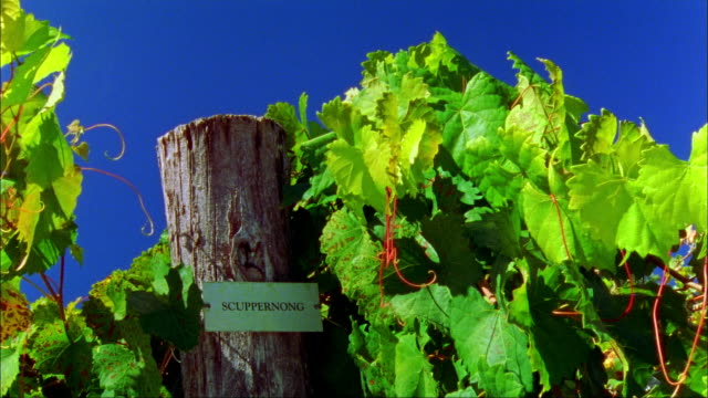 Close up Scuppernong grapevines and sign on fencepost/ Charlottesville, Virginia