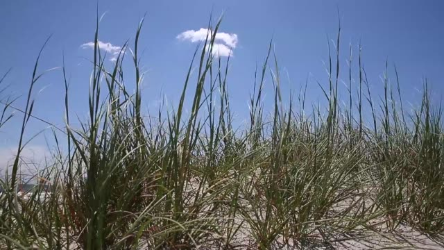 close up sea grass blowing in wind ocean isle beach atmosphere june 20 2013 - akvatisk organism bildbanksvideor och videomaterial från bakom kulisserna