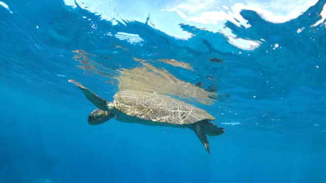 close up: sea turtle floats at surface in maui, hi - ocean surface level stock videos & royalty-free footage