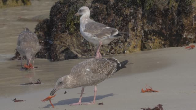 close up: seagulls eating orange crabs spread out on sandy shore - algae stock videos & royalty-free footage