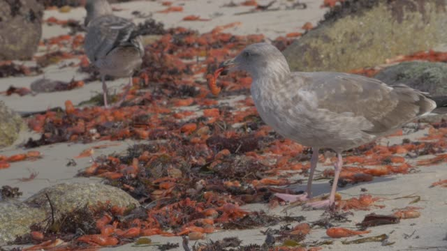 Close Up: Seagulls In Middle Of Large Batch Of Orange Crabs