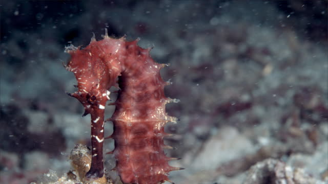 Close Up Seahorse under Philippine Sea