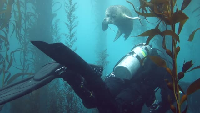 vídeos y material grabado en eventos de stock de close up: seal curiously playing with scuba diver then swimming away - quelpo