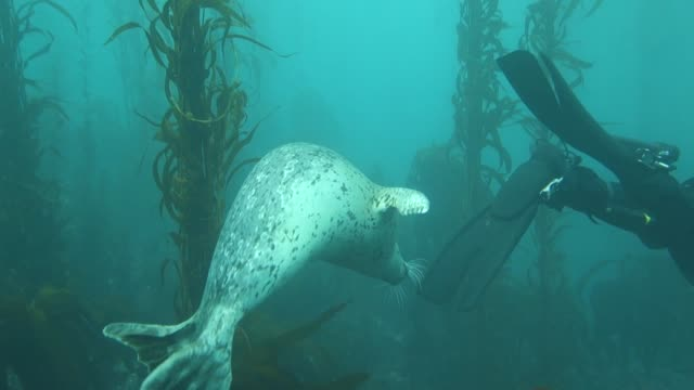 close up: seal playing with scuba diver's feet and swimming in kelp forest - exploration stock videos & royalty-free footage