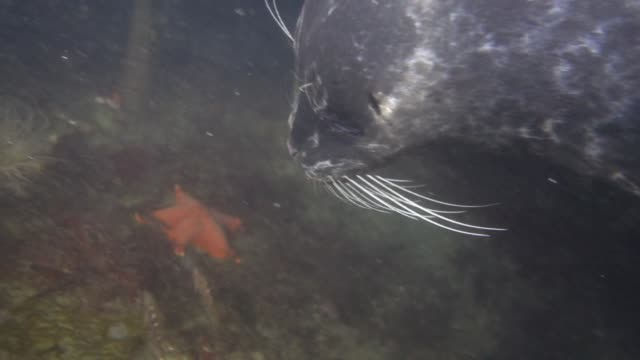 stockvideo's en b-roll-footage met close up: seal swimming fast after and eating small fish on sandy ocean floor - zeehond