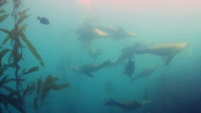vídeos de stock e filmes b-roll de close up: seals gracefully swimming with other fish by kelp forest - outro tema