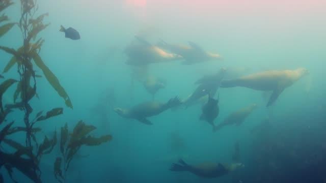 vidéos et rushes de close up: seals gracefully swimming with other fish by kelp forest - autre thème