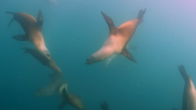 close up: seals gracefully swimming with other fish in cloudy ocean water - altri temi video stock e b–roll