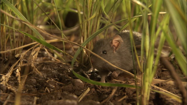 stockvideo's en b-roll-footage met close up - several rats moving through rice field / bangladesh - rat