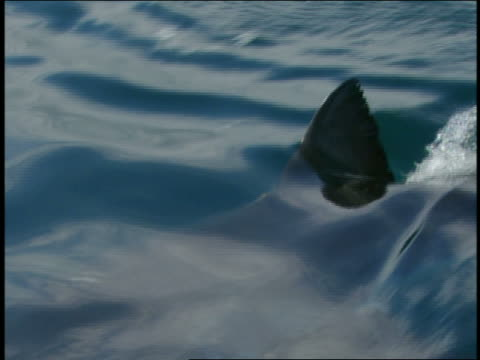 Close up shark fin moving on water surface