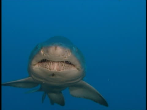 vídeos y material grabado en eventos de stock de close up shark swimming toward and over cam underwater - boca de animal