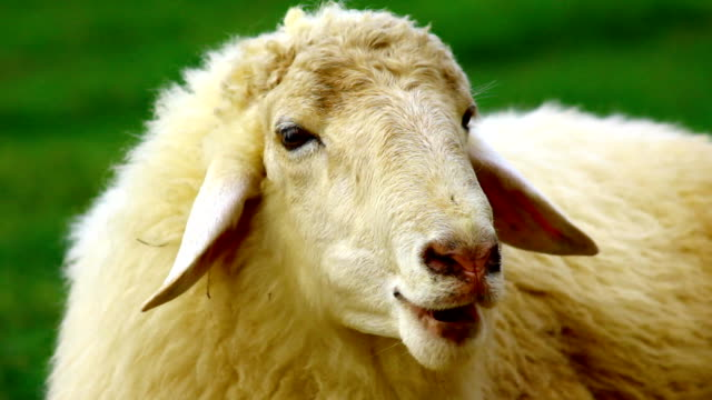vídeos y material grabado en eventos de stock de primer plano de cara de oveja - oveja merina