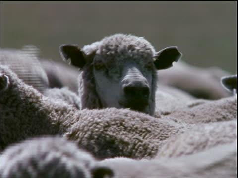 close up sheep surrounded by herd turning head / Santa Catarina Island, Brazil