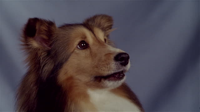 vídeos de stock e filmes b-roll de close up shetland sheepdog barking - nariz de animal