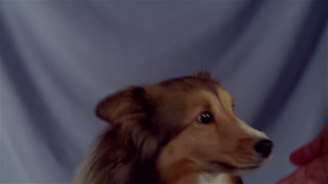 "vídeos de stock, filmes e b-roll de close up shetland sheepdog shaking hands and giving ""high five"" - high five"