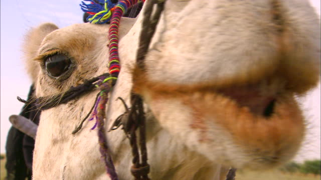 close up shot face of a camel - camel stock videos & royalty-free footage