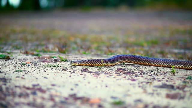 close up shot following snake along sand path - carnivora stock videos and b-roll footage