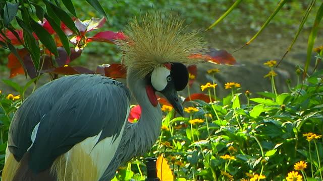 Close Up Shot Grey Crowned Crane Grand Bay Mauritius
